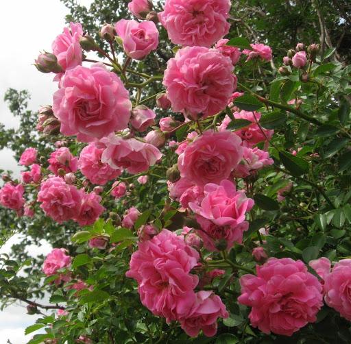 Little Rose Bush on the Prairie