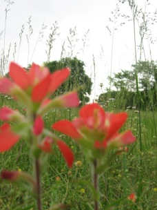 Indian Paintbrushes Blooming