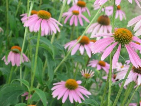 Pink Prairie Posies