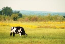 12d46-cows030