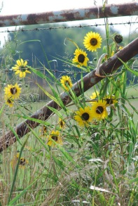 Yellow Sunflowers and Delightful Cows