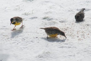 Birds of the Prairie in Winter
