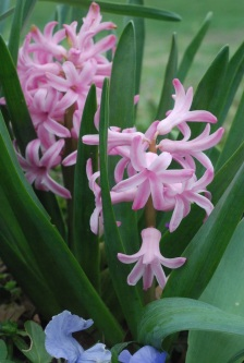 d68d7-hyacinths3003-copy