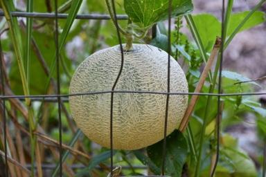 Late Cantaloupe